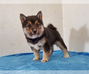Shiba Inu Puppy for sale in CLARK, MO, USA
