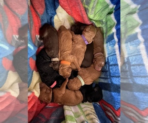 Goldendoodle Puppy for sale in MORENO VALLEY, CA, USA