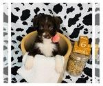 Puppy 4 Border Collie-Poodle (Miniature) Mix
