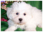 Maltese-Poodle (Toy) Mix Dog For Adoption in AURORA, OR, USA