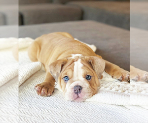 English Bulldog Puppy for Sale in MURRIETA, California USA