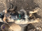 German Shepherd Dog Puppy For Sale in TOPEKA, KS