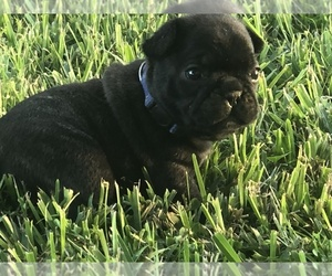 French Bulldog Puppy for Sale in OCALA, Florida USA