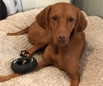 Small Photo #1 Vizsla Puppy For Sale in NEWHALL, CA, USA