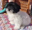 Havanese Puppy For Sale in CRYSTAL RIVER, FL, USA