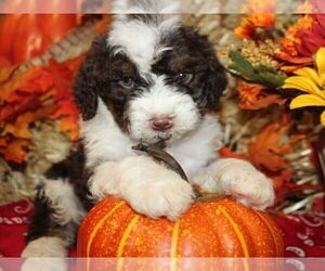 Bernedoodle-Poodle (Miniature) Mix Puppy for Sale in HUTCHINSON, Kansas USA