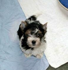 Biewer Terrier Puppy for Sale in GREENSBURG, Indiana USA