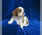Small #7 Cavalier King Charles Spaniel