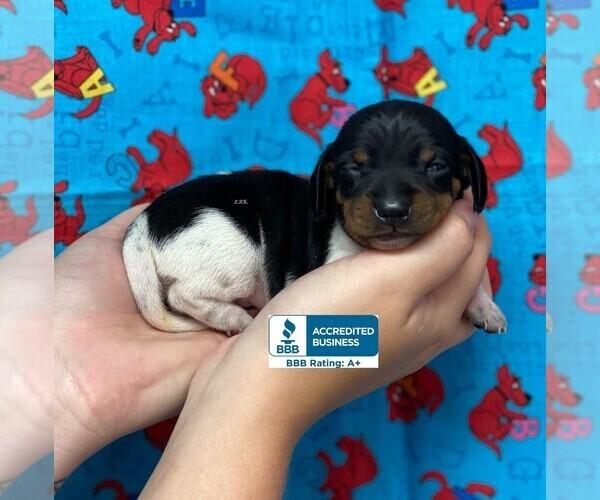 Medium Photo #2 Dachshund Puppy For Sale in WINNSBORO, LA, USA