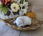 Puppy 4 Schnauzer (Miniature)