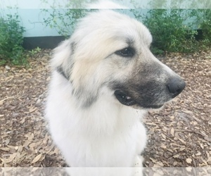 Mother of the Great Pyrenees puppies born on 04/26/2019
