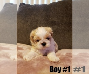 Shih Tzu Puppy for Sale in RED BLUFF, California USA