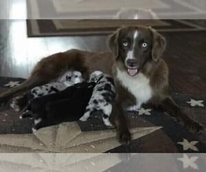 Mother of the Miniature Australian Shepherd puppies born on 09/27/2020