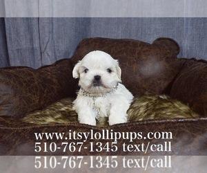 Maltese Puppy for sale in HAYWARD, CA, USA
