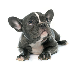 French Bulldog Puppy for Sale in CORAL SPRINGS, Florida USA