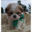 Shih Tzu Puppy For Sale in TUCSON, AZ