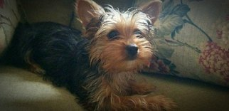 Yorkshire Terrier Puppy for sale in MOSHEIM, TN, USA