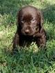 Labrador Retriever Puppy For Sale in ORANGE CITY, FL, USA