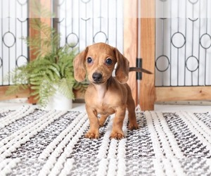 Dachshund Puppy for Sale in NAPLES, Florida USA