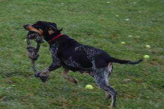 Elaine-Adoption Sponsored - Bluetick Coonhound Dog For Adoption