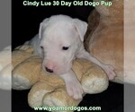 Small Photo #49 Dogo Argentino Puppy For Sale in PINEVILLE, MO, USA