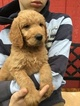 Goldendoodle Puppy For Sale in BATTLE GROUND, WA, USA