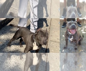American Pit Bull Terrier Puppy for sale in NEWARK, NJ, USA