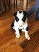 Border Collie Puppy For Sale in GOODLETTSVILLE, TN, USA