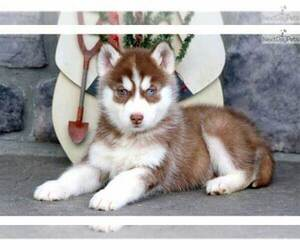 Siberian Husky Puppy for sale in CINCINNATI, OH, USA