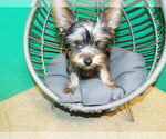 Puppy 1 YorkiePoo