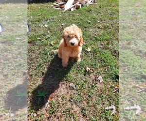 Golden Retriever-Poodle (Toy) Mix Puppy for Sale in SHIPSHEWANA, Indiana USA
