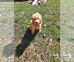 Puppy 0 Golden Retriever-Poodle (Toy) Mix