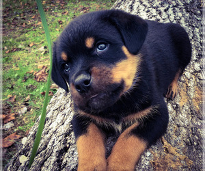 Rottweiler Puppy for Sale in VONORE, Tennessee USA