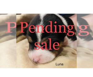 Basenji Puppy for Sale in TEXARKANA, Texas USA
