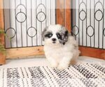 Small Photo #2 Shih-Poo Puppy For Sale in NAPLES, FL, USA