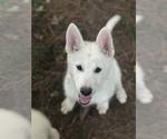 Puppy 6 Wolf Hybrid