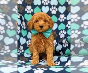 Poodle (Miniature) Puppy for sale in NOTTINGHAM, PA, USA