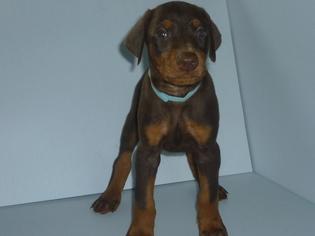 Doberman Pinscher Puppy For Sale in GREENVILLE, SC