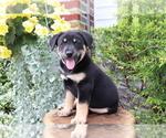 Small Akita-Labrador Retriever Mix