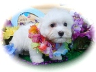 FEMALE Havanese Nonshed  Great 4 kids