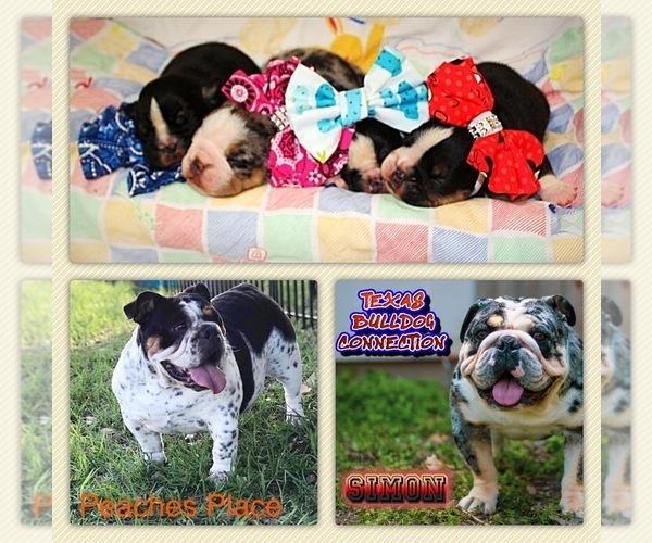 Medium Photo #3 Bulldog Puppy For Sale in CALDWELL, TX, USA