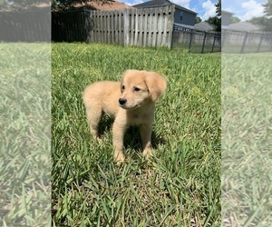 Golden Retriever-Unknown Mix Puppy for sale in JACKSONVILLE, FL, USA