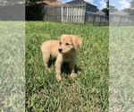Small Photo #1 Golden Retriever-Unknown Mix Puppy For Sale in JACKSONVILLE, FL, USA