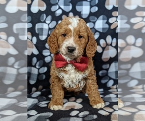 Goldendoodle Dog for Adoption in GLEN ROCK, Pennsylvania USA