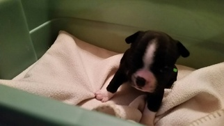 Boston Terrier Puppy For Sale in ROLLA, MO