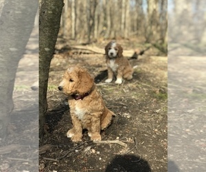 Aussiedoodle Puppy for Sale in COMMERCE, Michigan USA
