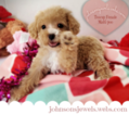 Adorable Teacup Maltipoo Puppy