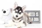 Huskimo Puppy For Sale in NAPLES, FL, USA