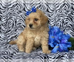 Bichpoo Puppy for Sale in CEDAR LANE, Pennsylvania USA