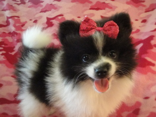 View Ad Pomeranian Litter Of Puppies For Sale Near Texas Palestine